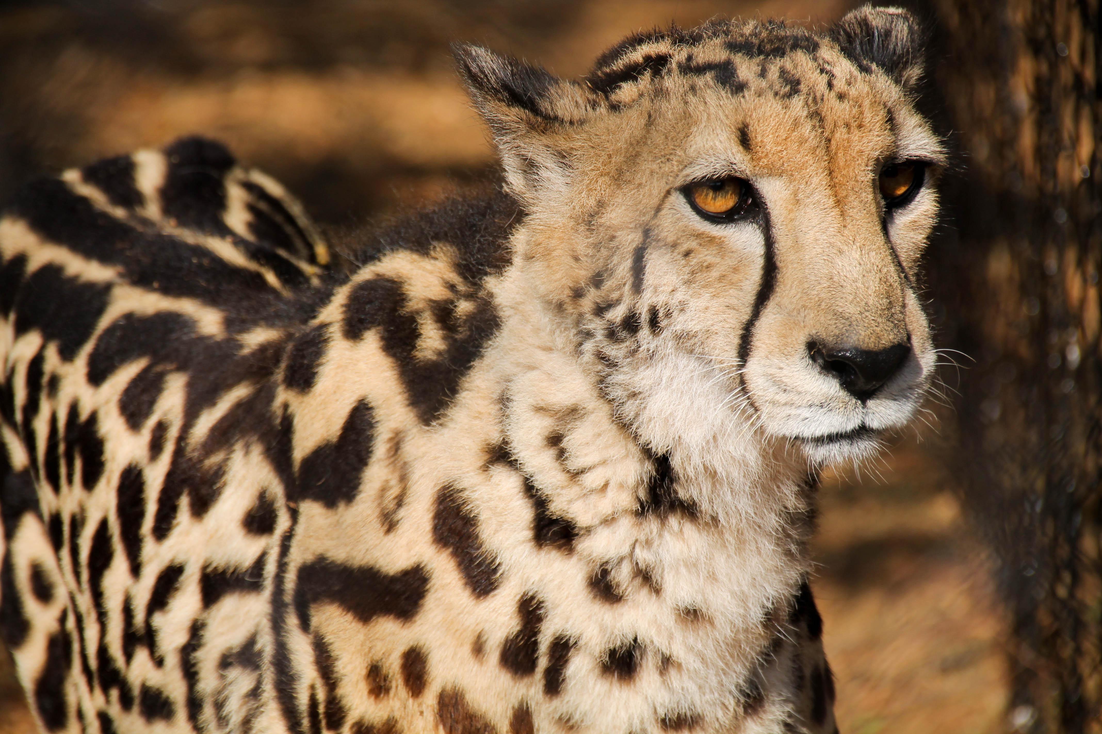 cheetah-1
